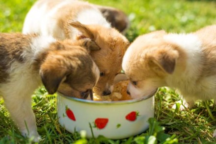 picture of three puppies with dog food for puttpies